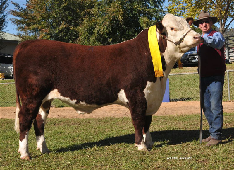 2014-Wodonga-Hereford-show-and-sale