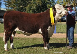 2014 Wodonga Hereford show and sale 076 RET